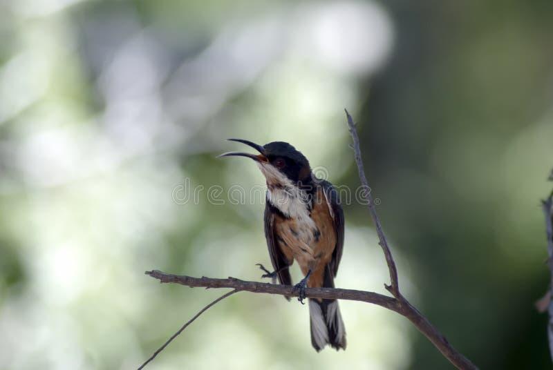Eastern Spinebill Acanthorhynchus Tenuirostris Venus Bay, Victoria, Australia royalty free stock images