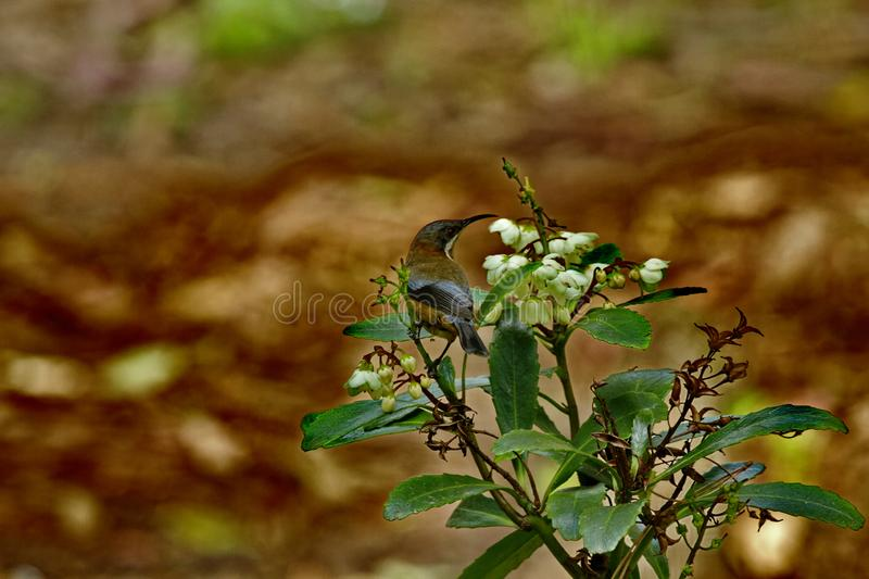 Eastern Spinebill against natural bokeh background royalty free stock image