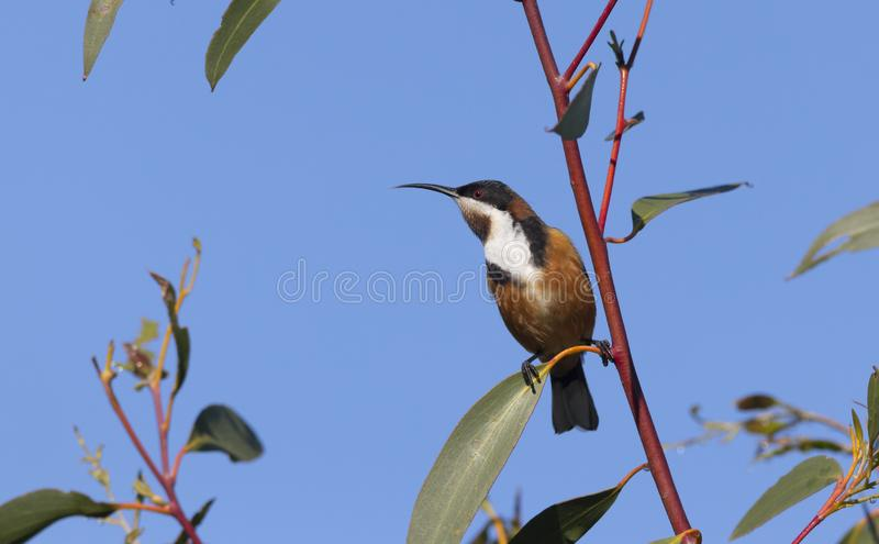 Eastern Spinebill honeyeater with blue sky background stock photography