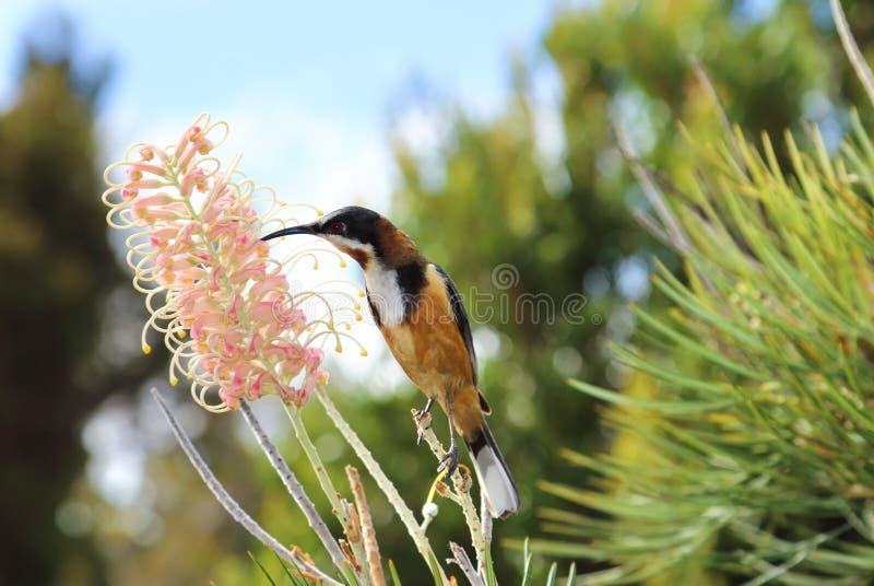 Eastern Spinebill with tropical Bottlebrush flower stock photo