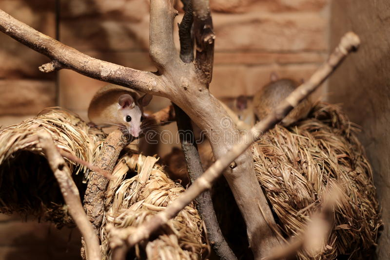 Eastern spiny mice (Acomys dimidiatus) on straw stock images