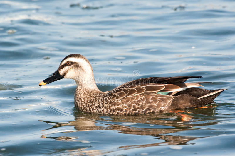 Eastern Spot-Billed Duck stock photography