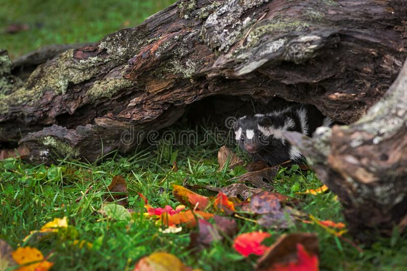 Eastern Spotted Skunk Spilogale putorius Glances Out From Beneath Log Autumn stock images