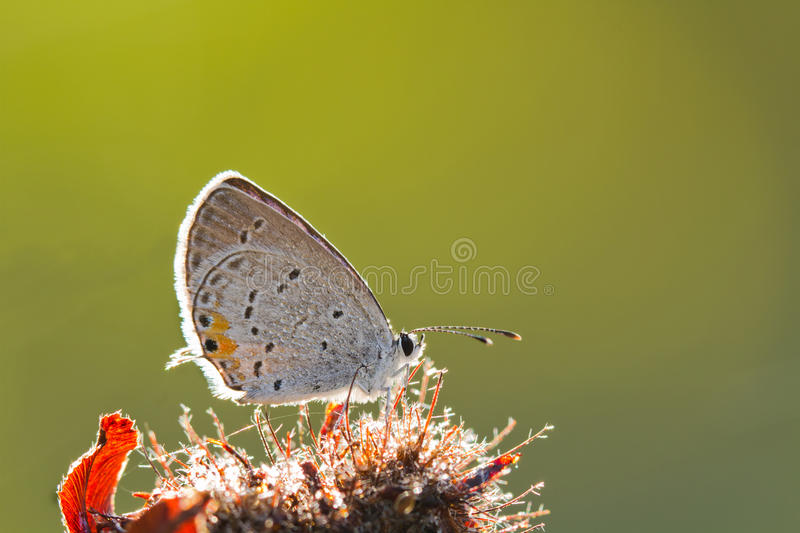 Download Eastern Tailed Blue Butterfly Stock Photo - Image: 26559420