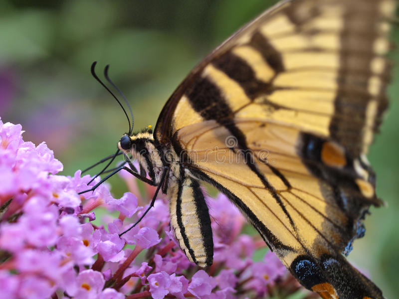 Eastern tiger swallowtail butterfly stock photos