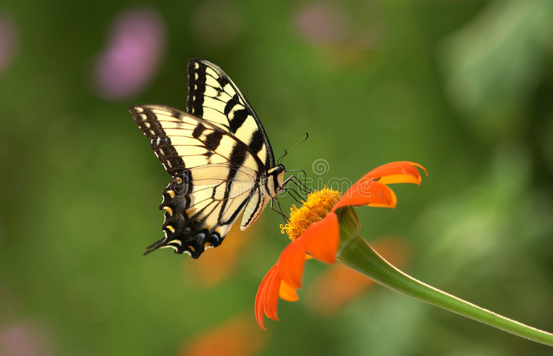 Eastern Tiger Swallowtail Butterfly. Beautiful Eastern Tiger Swallowtail butterly sipping nectar from a Mexican Sunflower royalty free stock photo