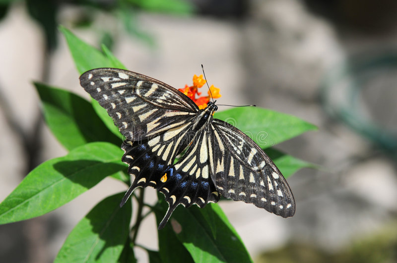 Download Eastern Tiger Swallowtail Butterfly Stock Photo - Image: 9089374