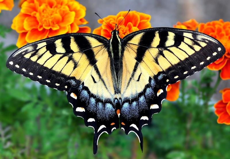 Eastern Tiger Swallowtail Butterfly. A beautiful Eastern Tiger Swallowtail butterfly (Papilio glaucus) at orange marigolds royalty free stock photos