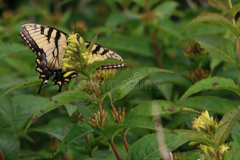 Eastern Tiger Swallowtail Butterfly on a flower. Yellow and black Eastern Tiger Swallowtail Butterfly on a yellow flower in Great Smokey Mountains National Parkn royalty free stock images