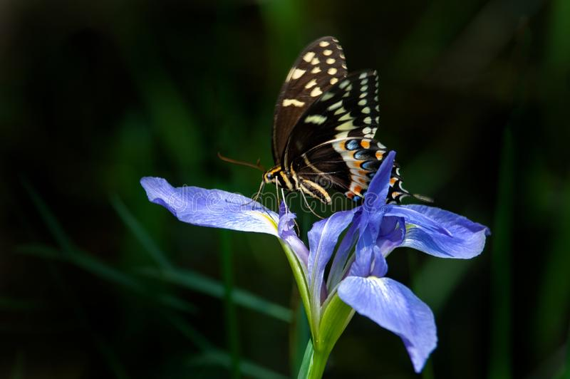 An eastern tiger swallowtail butterfly on an iris. An eastern tiger swallowtail butterfly perched on a Florida native blue flag iris in Audubon Corkscrew Swamp royalty free stock photography