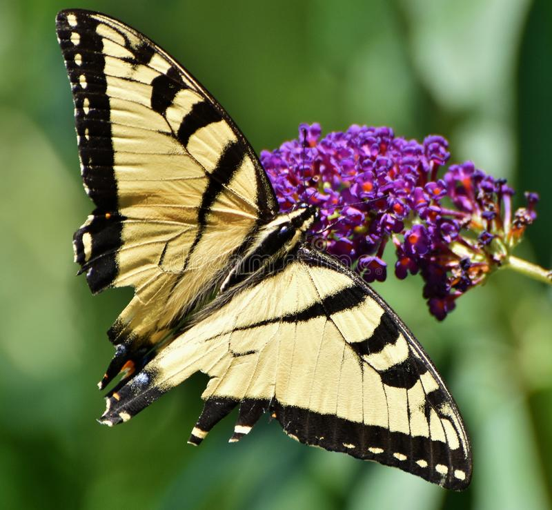 Eastern Tiger Swallowtail Butterfly. The Eastern Tiger Swallowtail Butterfly Papilio glaucus pollinates a purple flower stock image