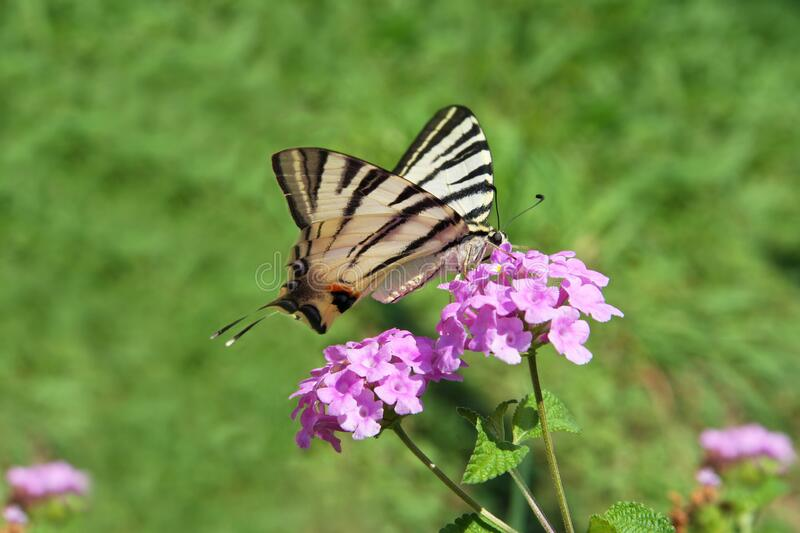 Eastern Tiger Swallowtail butterfly Papilio glaucus sitting on purple flowers.  stock photography