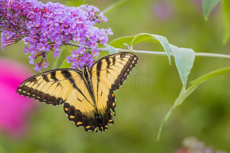 Eastern Tiger Swallowtail Butterfly on purple butterfly bush. Eastern Tiger Swallowtail Butterfly papilio glaucus on purple butterfly bush stock photo