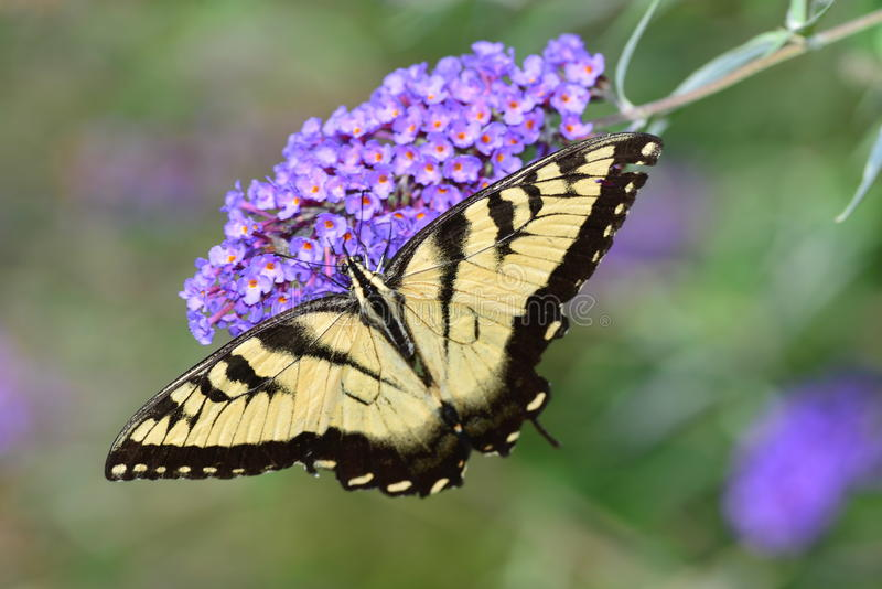 Eastern Tiger Swallowtail Butterfly. Resting on purple flowers stock images