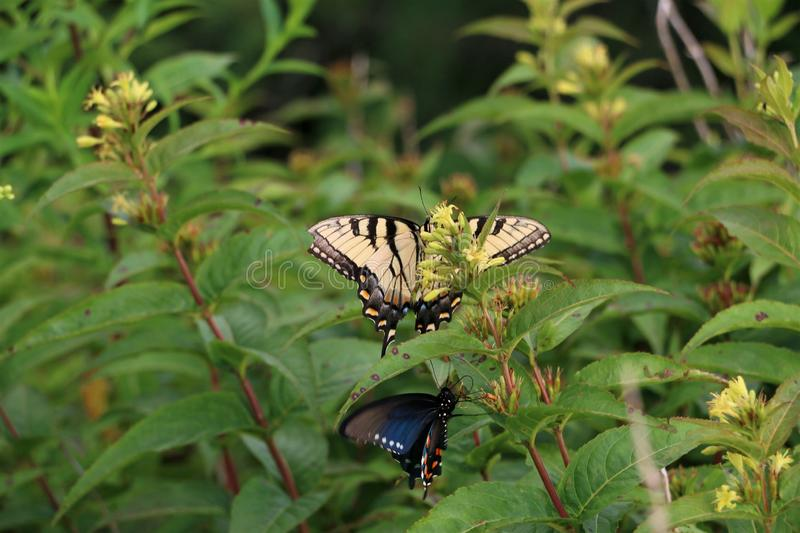 Eastern Tiger Swallowtail Butterfly and Spicebush Swallowtail Butterfly on a flower. Yellow and black Eastern Tiger Swallowtail Butterfly on a yellow flower royalty free stock photography