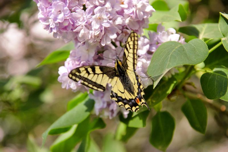 Eastern tiger swallowtail butterfly in spring in garden with purple flowers of syringa lilac tree. Spring season. Eastern tiger swallowtail butterfly in spring royalty free stock photo