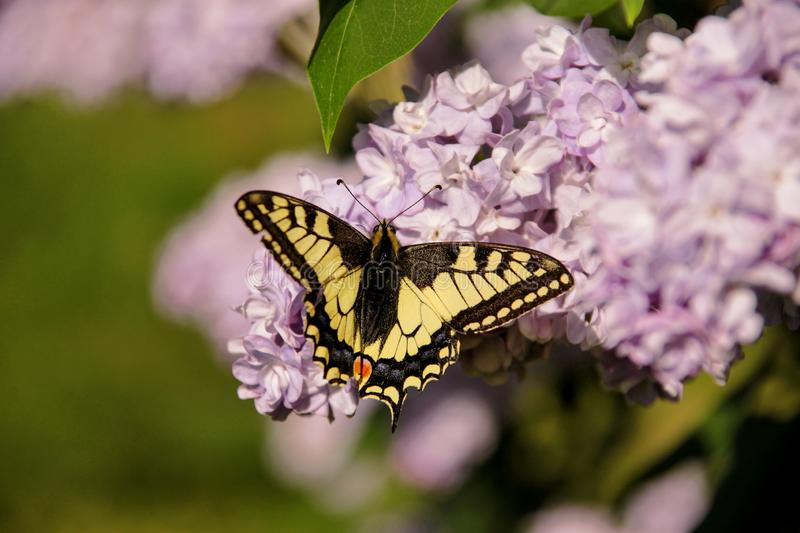 Eastern tiger swallowtail butterfly in spring in garden with purple flowers of syringa lilac tree. Spring season. Eastern tiger swallowtail butterfly in spring stock photos