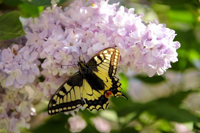 Eastern tiger swallowtail butterfly in spring in garden with purple flowers of syringa lilac tree. Spring season. Eastern tiger swallowtail butterfly in spring royalty free stock photography