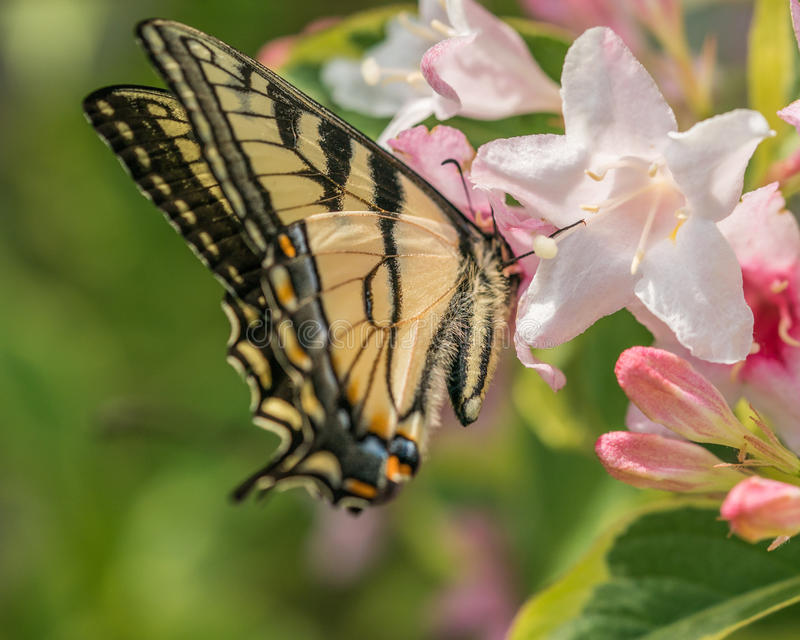 Eastern tiger swallowtail butterfly in spring in a New Hampshire garden with pink flowers. royalty free stock photo