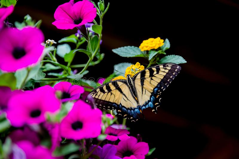 Eastern Tiger Swallowtail. Enjoying hanging flowers midsummer in the heart of rural Kentucky stock images