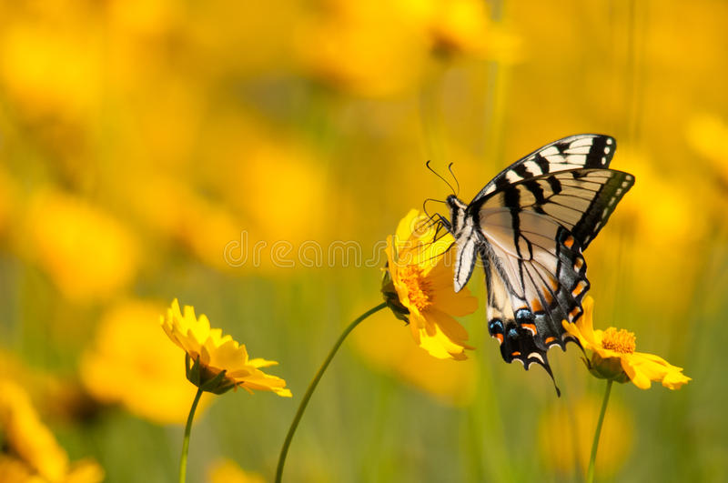 Eastern Tiger Swallowtail. Feeding from wildflowers royalty free stock images
