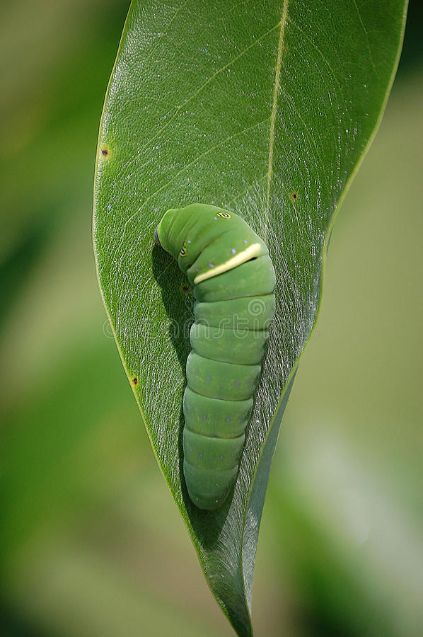 Eastern Tiger Swallowtail Caterpillar. A cute bright green Tiger Swallowtail caterpillar is well camouflaged on the tip of a Sweetbay Magnolia leaf in Virginia stock image
