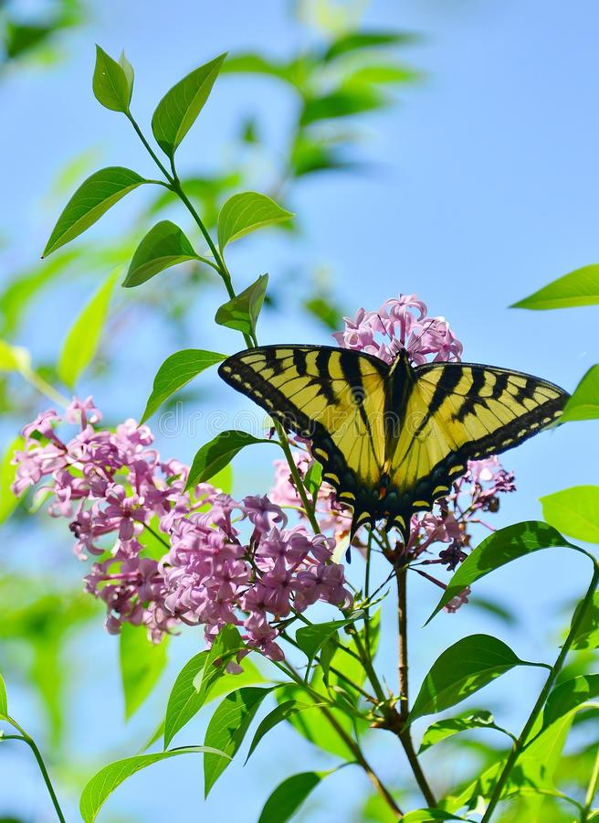 Free Eastern Tiger Swallowtail On Pink Lilac High Park Stock Photo - 55486930