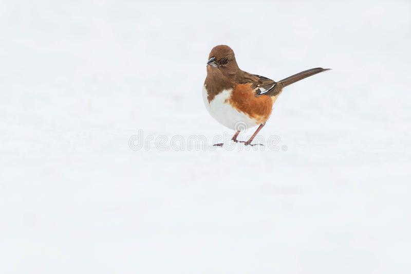 Eastern Towhee. Female Eastern Towhee standing in the snow. Lynde Shores Conservation Area, Whitby, Ontario, Canada stock images
