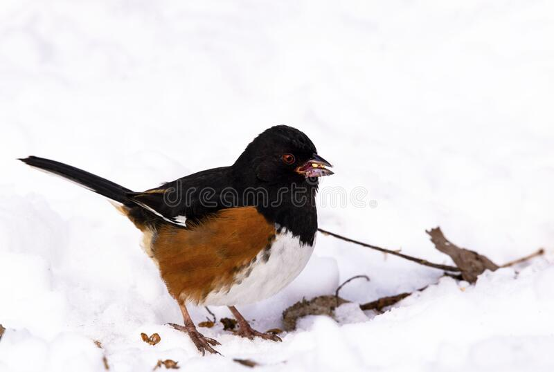Eastern Towhee in snow stock images