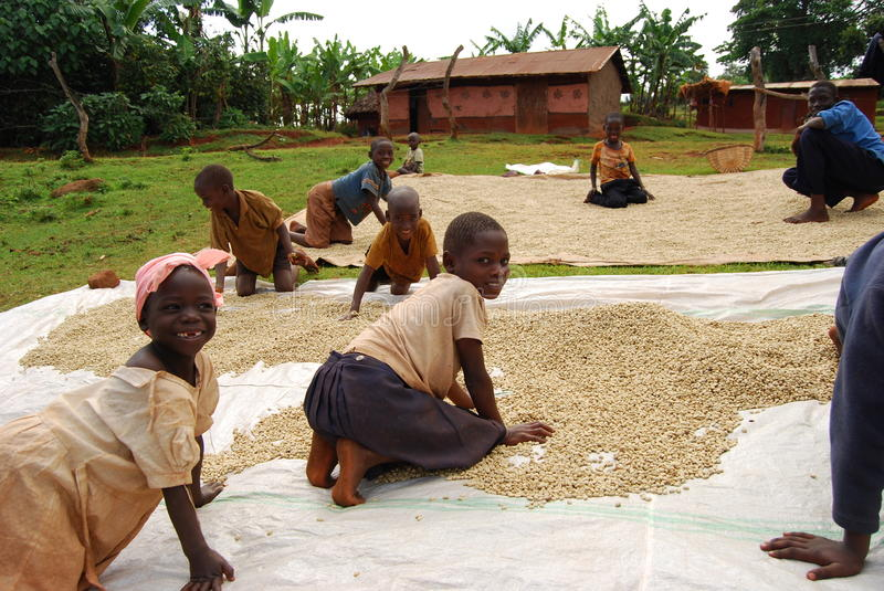 Eastern Uganda. The children of coffee growers help dry coffee with their family after school royalty free stock photos