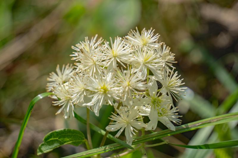 Eastern Virgin's Bower – Clematis virginiana. Eastern Virgin's Bower flowers consist of 4 to 5 white petal-like sepals and many white stock photography