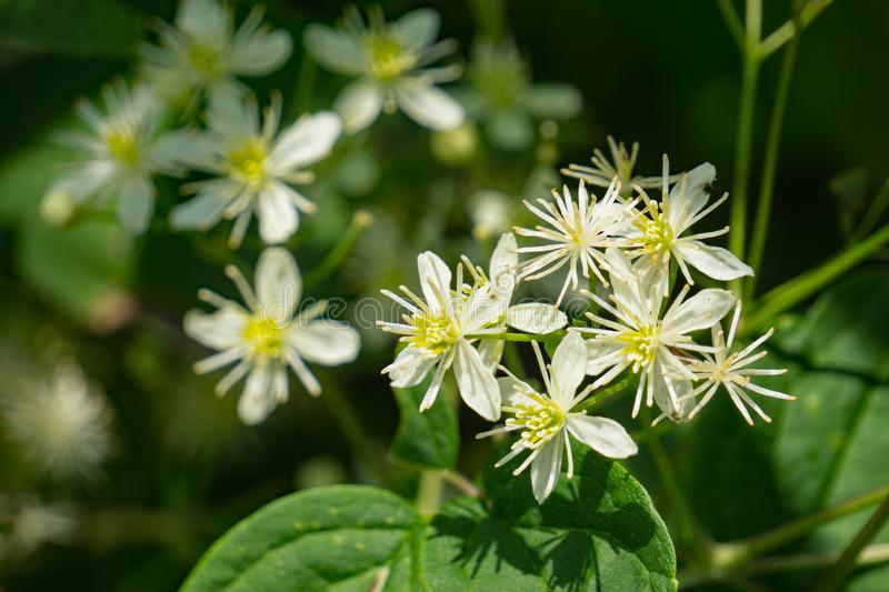 Eastern Virgin's Bower – Clematis virginiana. Eastern Virgin's Bower is a vigorous vining plant of the Buttercup family royalty free stock photo