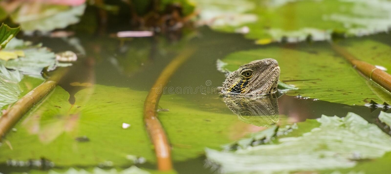 Eastern Water Dragon stock image