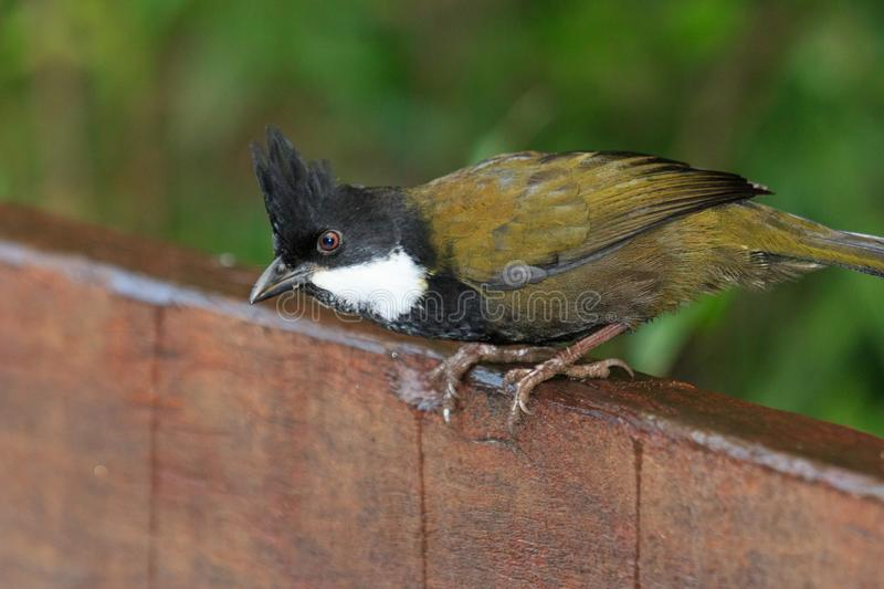 Eastern Whipbird in Australia. This bird is rarely seen out in the open but can be heard across Australian rainforests with its incredible whip crack of a call stock photography