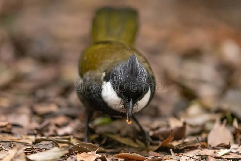 Eastern Whipbird in Australia. This bird is rarely seen out in the open but can be heard across Australian rainforests with its incredible whip crack of a call royalty free stock photos