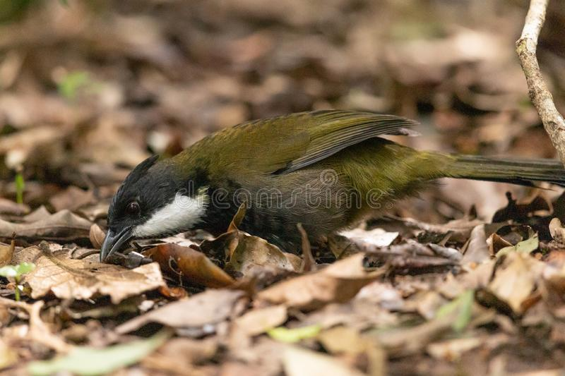 Eastern Whipbird in Australia. This bird is rarely seen out in the open but can be heard across Australian rainforests with its incredible whip crack of a call stock image