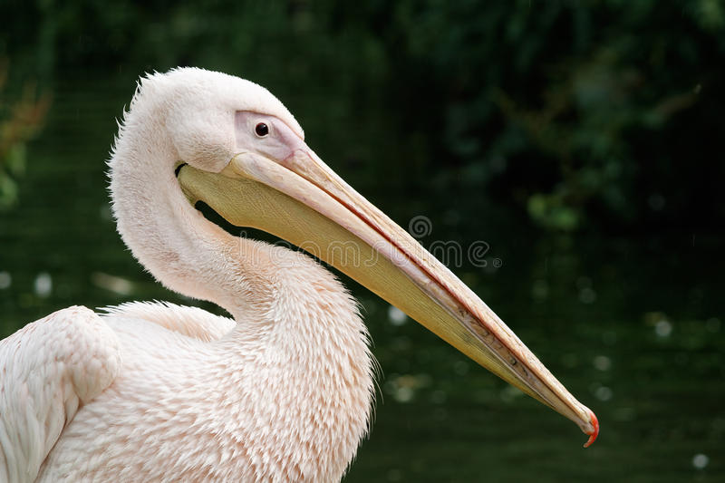 Eastern White Pelican. Close-up of an Eastern White Pelican (Great White Pelican) with a long beak royalty free stock photo