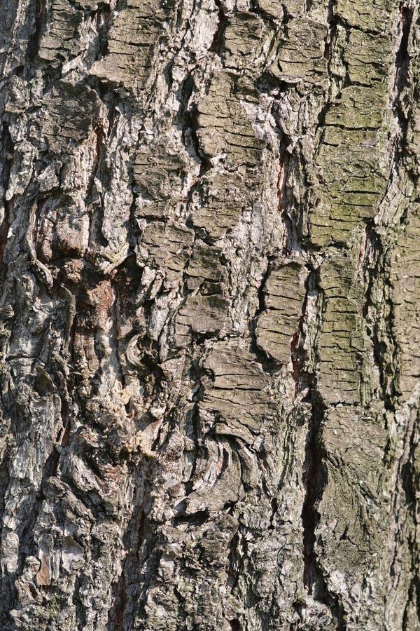 Free Eastern White Pine Royalty Free Stock Photo - 177737735