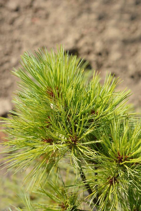 Eastern white pine Radiata. Latin name - Pinus strobus Radiata stock photography