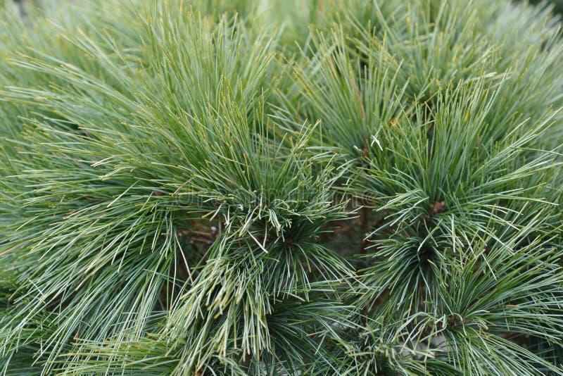 Eastern white pine Radiata. Latin name - Pinus strobus Radiata stock photo