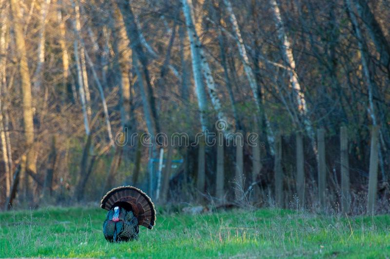 Eastern wild turkey male, tail feathers spread looking for a female. Eastern wild turkey Meleagris gallopavo male, tail feathers spread looking for a female stock photos