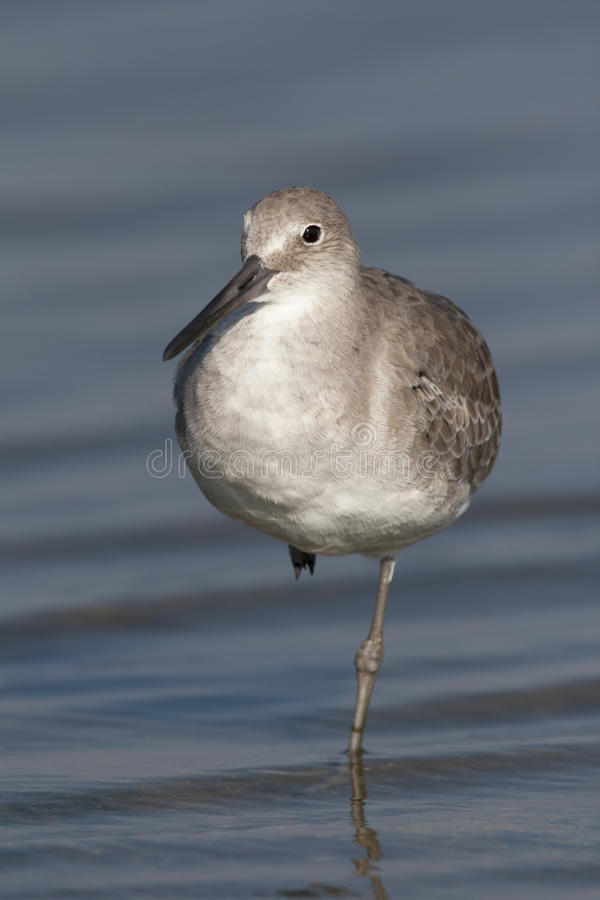 Eastern Willet royalty free stock image