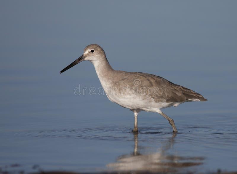 Download Eastern Willet stock photo. Image of shorebird, bird - 13888976
