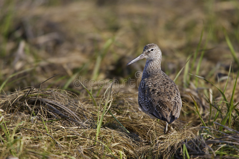 Download Eastern Willet stock image. Image of animal, feathers - 6953275