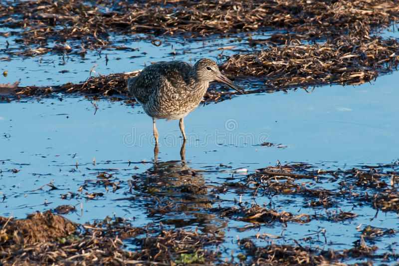 Eastern Willet stock photography