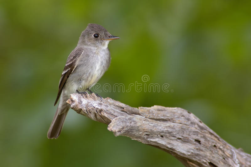 Eastern Wood Pewee Royalty Free Stock Photography