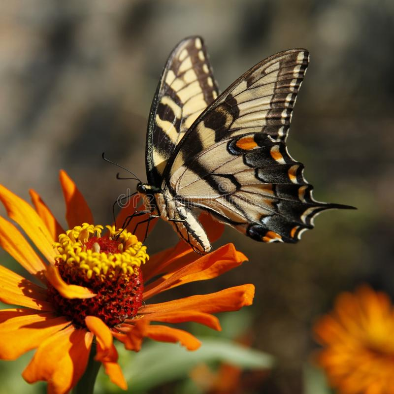 Eastern yellow tiger swallowtail butterfly. stock images
