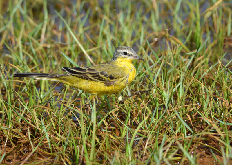 Eastern yellow wagtail. On grass feeding royalty free stock photo