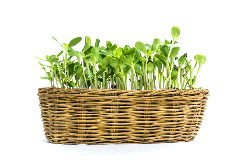 Easy implant sunflower sprouts in a rattan basket stock photo