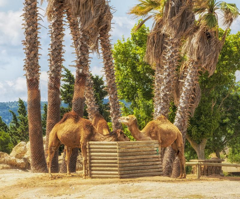 The eat camels near palm trees. royalty free stock photography